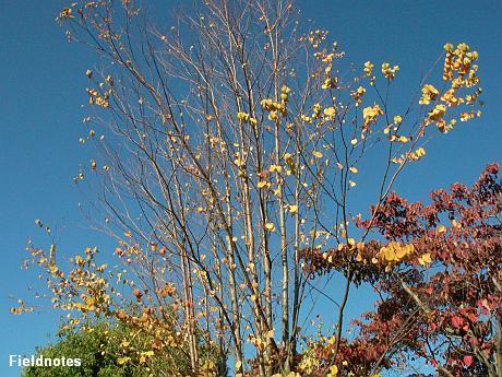 黄葉して落葉しているカツラ