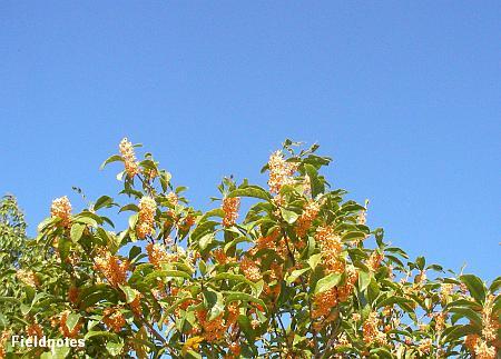 いっぱい咲いているキンモクセイの花