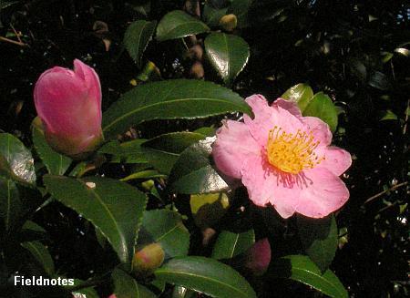 咲いたサザンカの花
