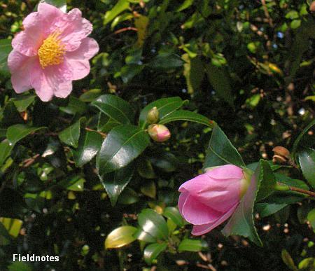 これから咲くサザンカの花