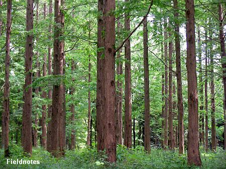 メタセコイアの森(長居植物園)
