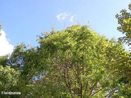 見上げるような大木のメタセコイア(長居植物園)
