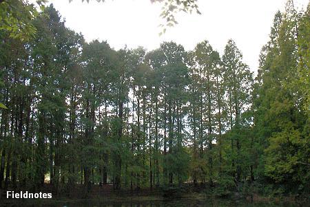 晩秋のラクウショウの森(長居植物園)