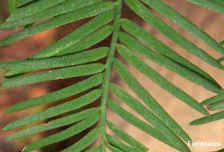 左右の葉が互い違いに生えている「互生」のラクウショウ(スギ科ヌマスギ属)の葉(長居植物園)