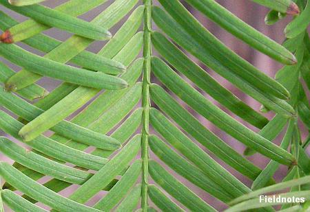 左右の葉が並んで生えている「対生」のメタセコイア(スギ科メタセコイア属)の葉(長居植物園)