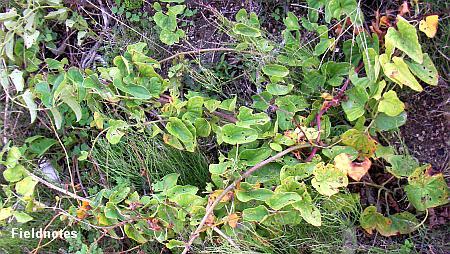 地面をはってる山芋の蔓(10月半ば頃)