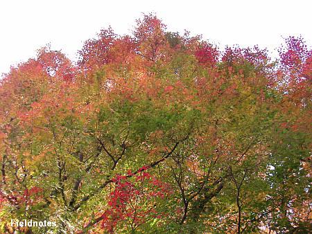 高野山のお寺の紅葉のグラデーション