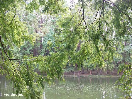 メタセコイアとラクウショウの森(長居植物園)