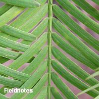 対生のメタセコイアの葉(長居植物園)