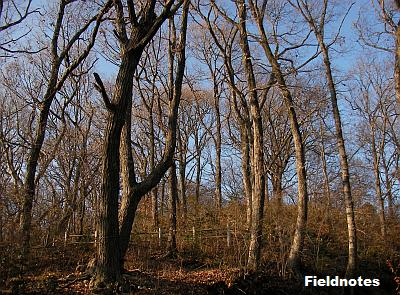 落葉した冬至頃のコナラの林(高尾山)