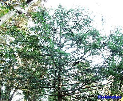 高尾山のモミの木