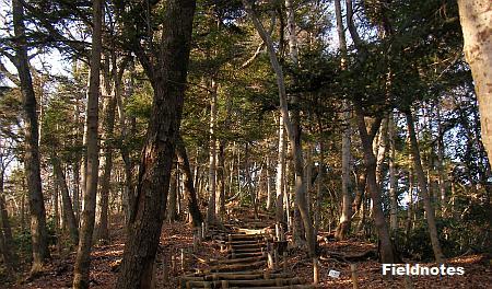 6号路のモミの木の森(高尾山)