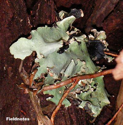 コケの苔類みたいな葉状(ようじょう)地衣類のウメノキゴケ(多分)[高野山]