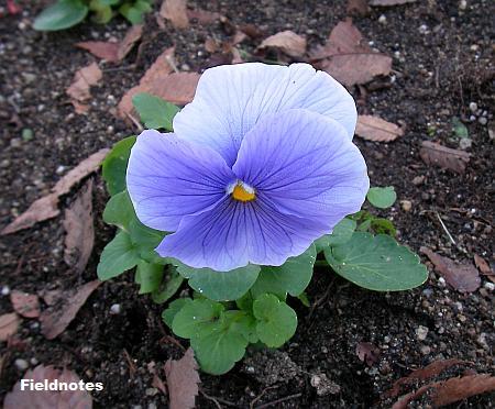 うす紫色のパンジー