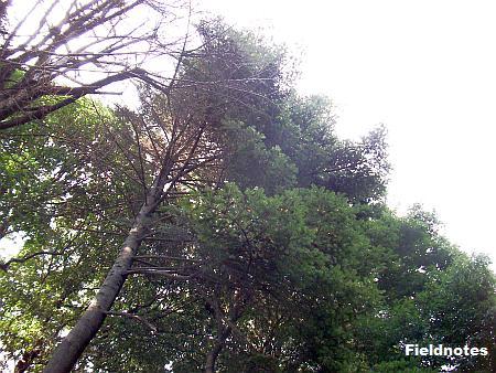代々樅の大木が生えていたところに植えられているモミ