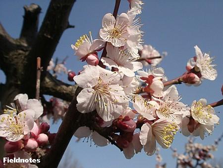 梅の花(参考[大阪3月])