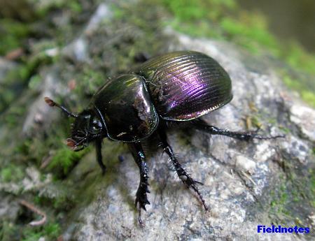 キラキラ甲虫センチコガネ[高尾山]