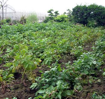 2006ジャガイモ畑