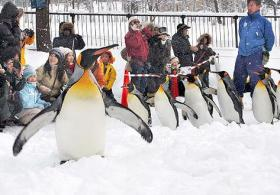 ペンギンの散歩-北海道新聞より