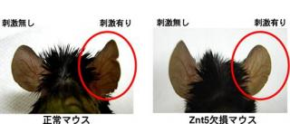 正常マウスとZnt5欠損マウスの比較