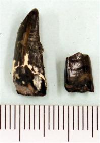 意外と小さい、ティラノサウルスの前歯