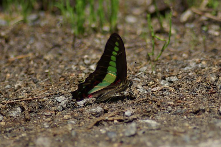 アオスジアゲハ  2009.05.12 1037