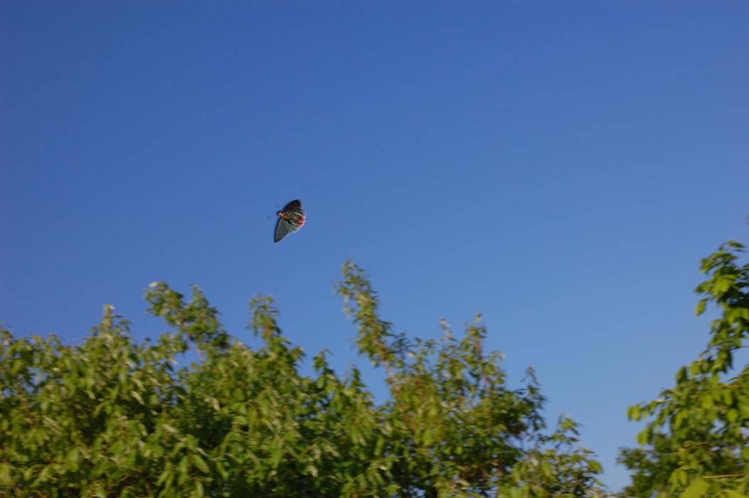 アオバセセリ 2009.05.19 1650