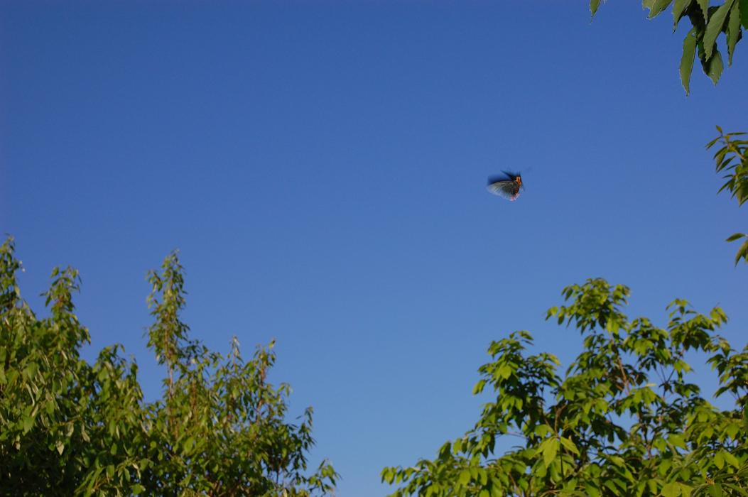 アオバセセリ 2009.05.19 1651