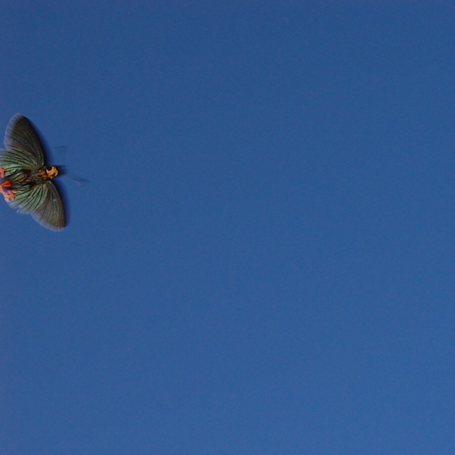 アオバセセリ 2009.05.19 1644