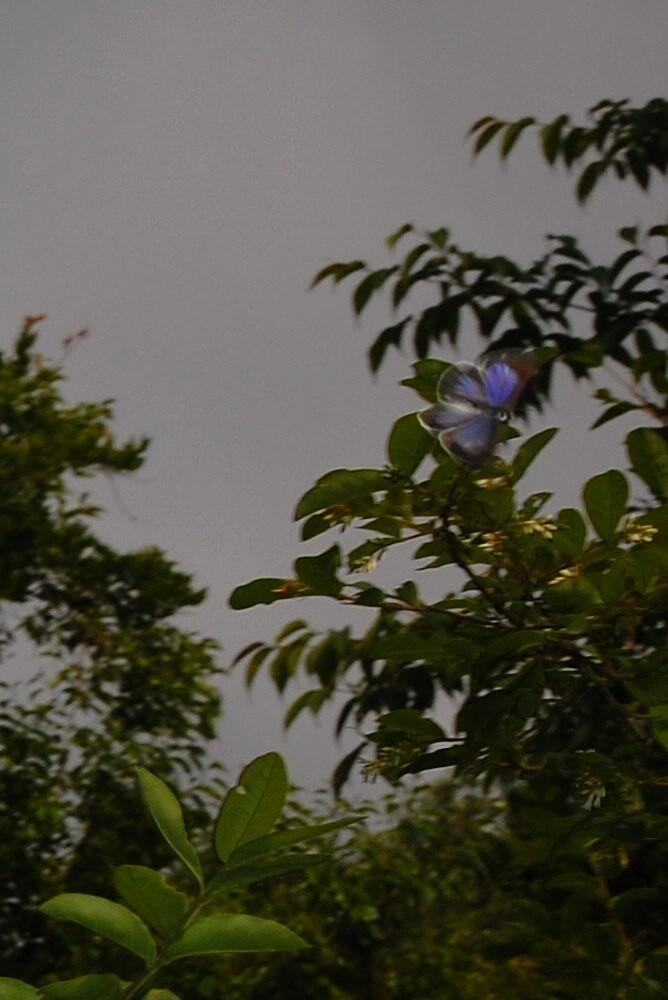 ウラゴマダラシジミ 2009.05.29 1655