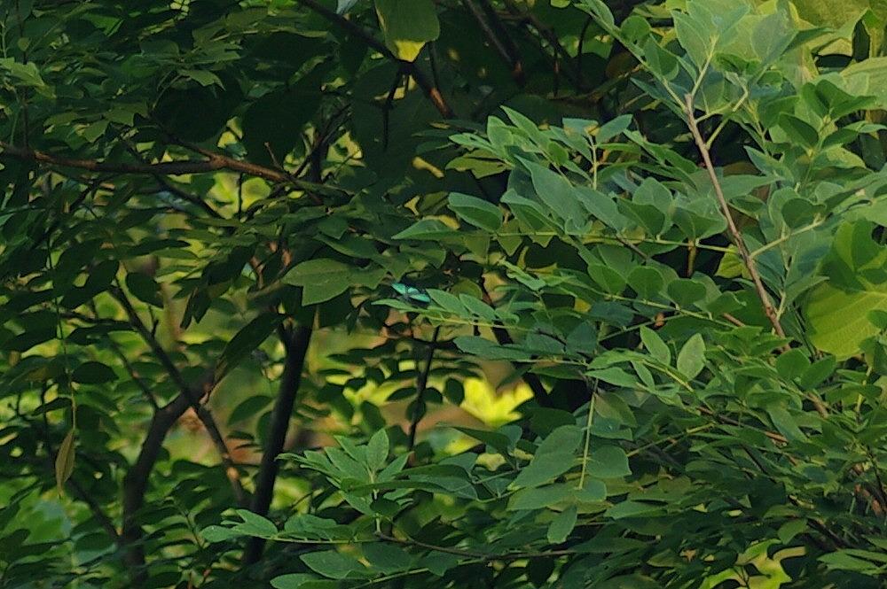 ミドリシジミ 2009.06.26 1820