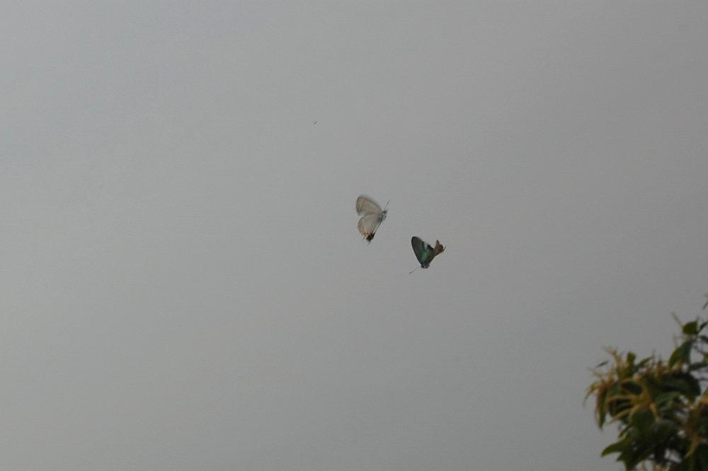 オオミドリシジミ 2009.06.27 0918
