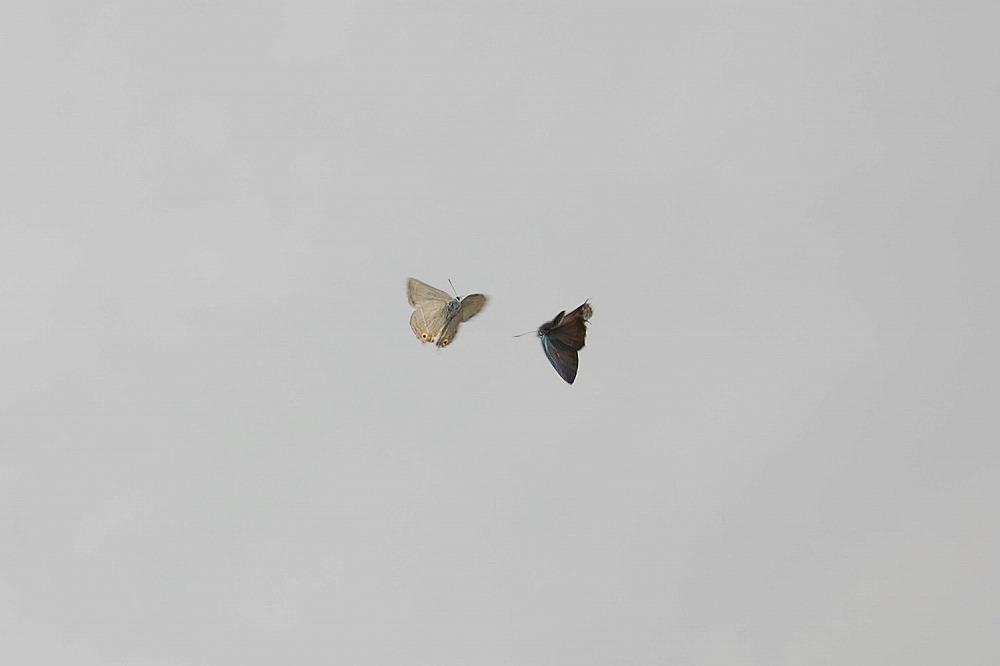 オオミドリシジミ 2009.06.27 0925