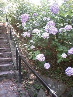 紫陽花 その①