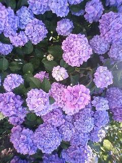 紫陽花 その②