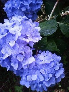 紫陽花 その3