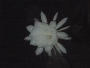 2008.10.18月下美人画像3