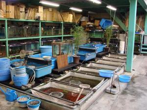 2008.11.4伊藤養魚場池コーナープチ改装画像 (2)