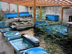 2008.11.4伊藤養魚場池コーナープチ改装画像 (1)
