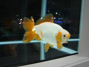 ジャパンペットフェア2009【金魚】 (2)