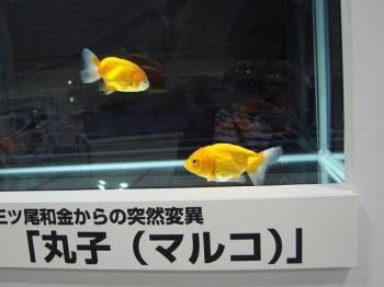 ジャパンペットフェア2009【金魚】 (4)