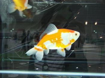 ジャパンペットフェア2009【金魚】 (5)