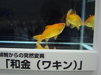 ジャパンペットフェア2009【金魚】 (6)