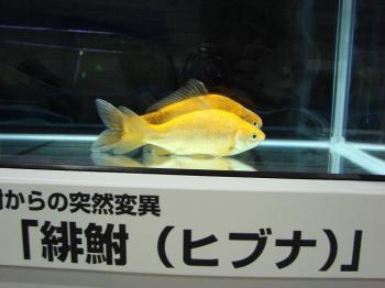 ジャパンペットフェア2009【金魚】 (7)