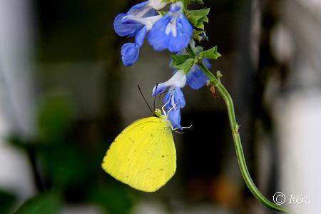 z黄色い蝶3IMG_4412-1
