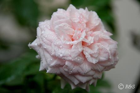 雨のマルメゾン1IMG_4455-1