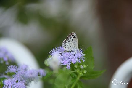 z花と蝶1IMG_4572