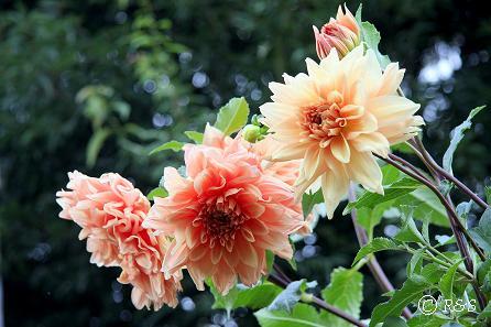 公園の花6IMG_8344