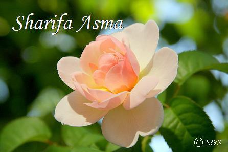 シャリファ・アスマ302IMG_5675