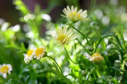 z花壇の花2IMG_5795